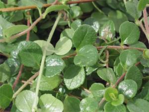 Linnaea_borealis_-_Moosgloeckchen_Erdgloeckchen_skandinavisches_Moosgloeckchen_Zwerggehoelz_Blatt_1