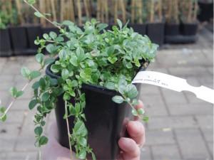 Linnaea_borealis_Pflanzcontainer_1