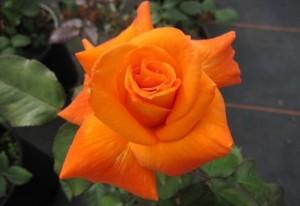 Edelrose Flora Danica