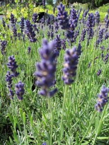 Garten-Lavendel Twickel Purple